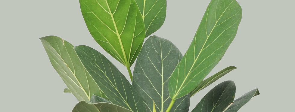Ficus Benghalensis, Ficus Audrey
