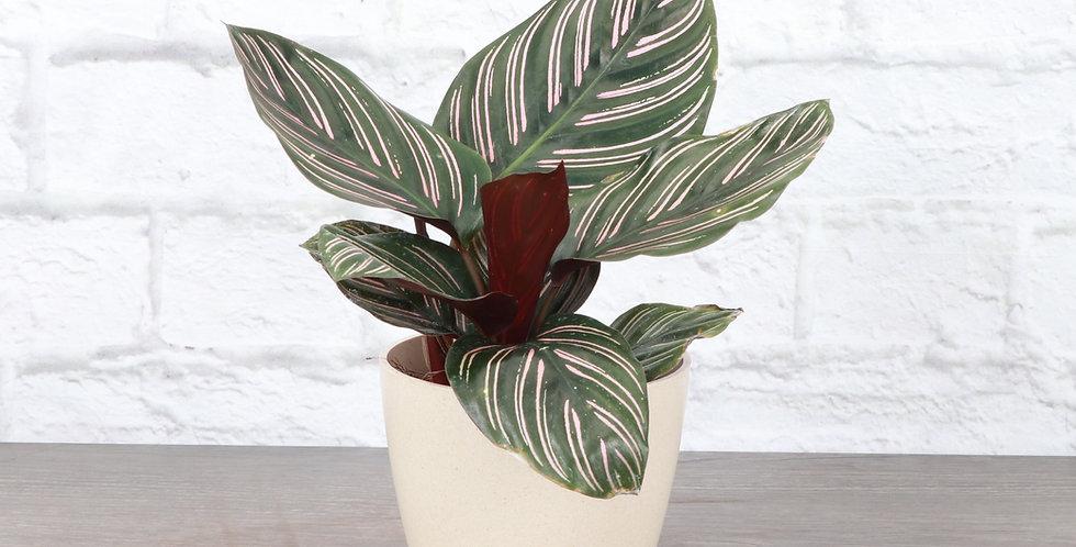 Calathea Ornata, Pink Pinstripe Calathea Plant in Eco Pot