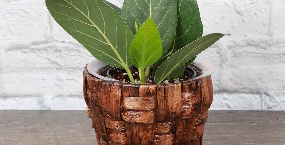 Ficus Benghalensis, Ficus Audrey in Banana Leaf Basket