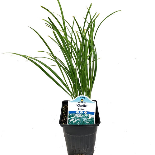"3"" Chives Garlic"