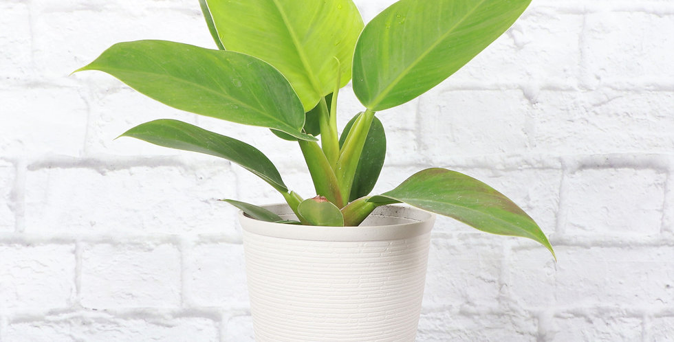Philodendron Erubescens, Imperial Green Philodendron in Farmhouse Planter