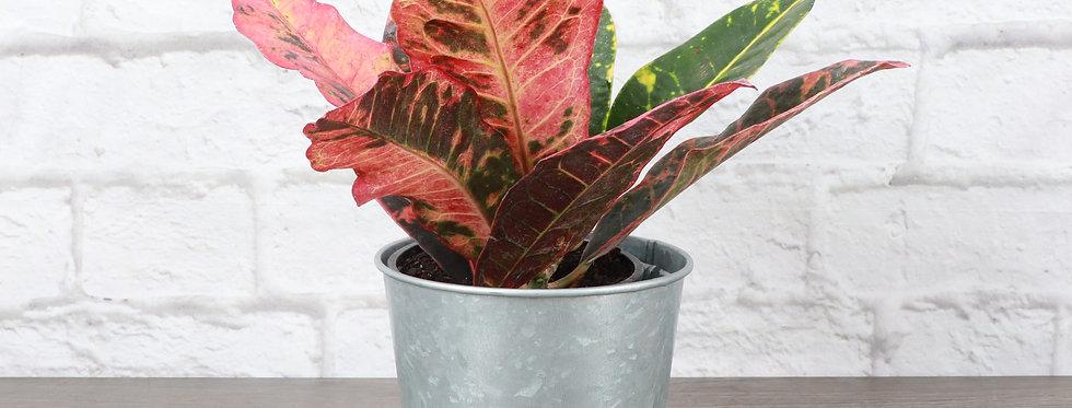 Codiaeum Variegatum, Petra Croton Plant in Galvanized Steel Pot