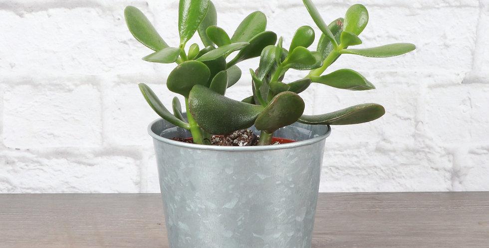 Crassula Ovata, Jade Plant in Galvanized Steel Pot