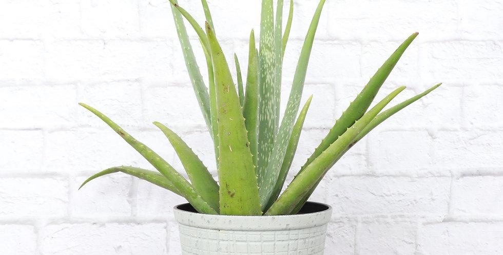 Aloe Barbadensis Miller, Aloe Vera Plant in Large Rustic Planter