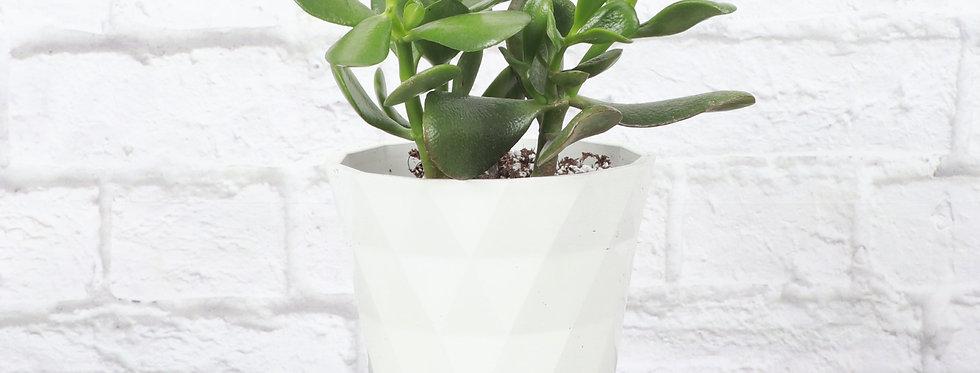 Crassula Ovata, Jade Plant in Modern White Planter