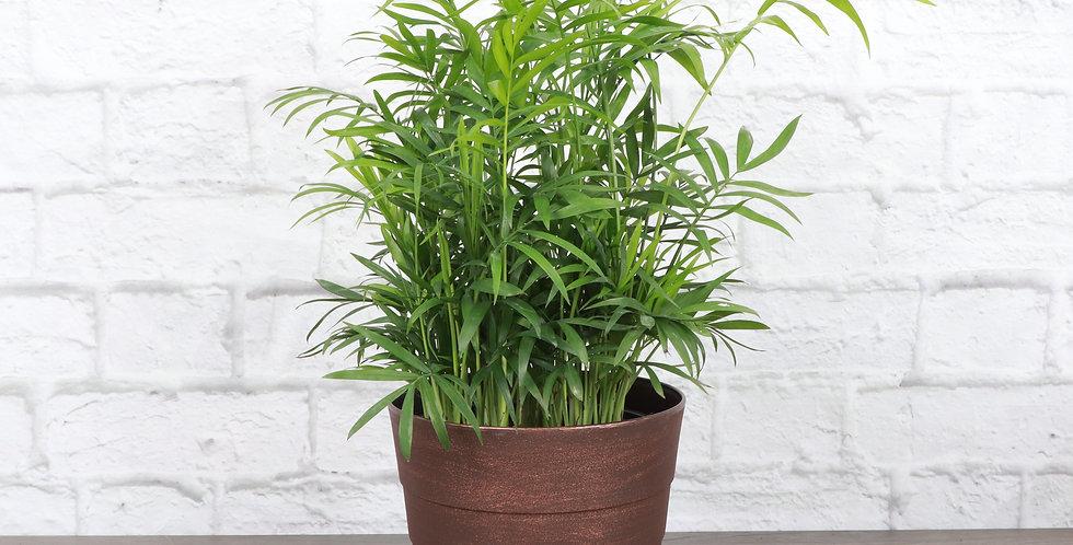 Chamaedorea Elegans, Parlor Palm in Contemporary Pot