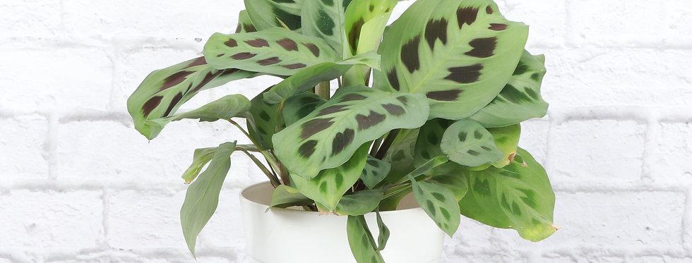 Maranta Leuconeura, Green Prayer Plant in Contemporary Pot