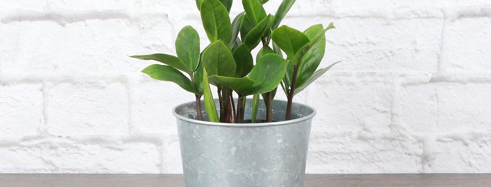 Zamioculcas Zamiifolia, ZZ Plant in Galvanized Steel Pot