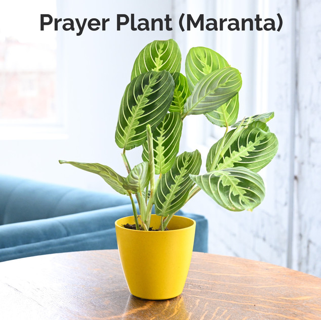 Prayer Plant (Maranta)