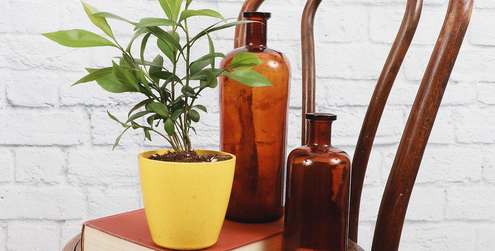 Ardisia Humilis, Red Ardisia in Eco Pot