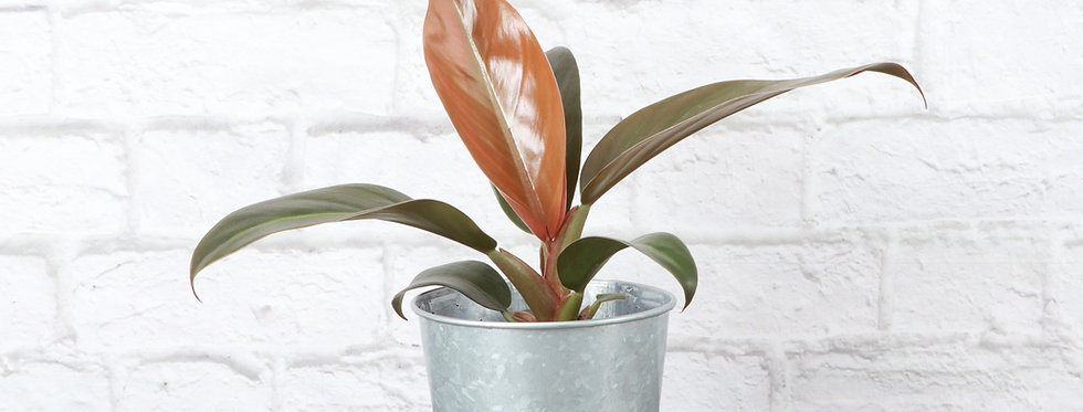 Philodendron Erubescens, Imperial Red Philodendron in Galvanized Steel Pot