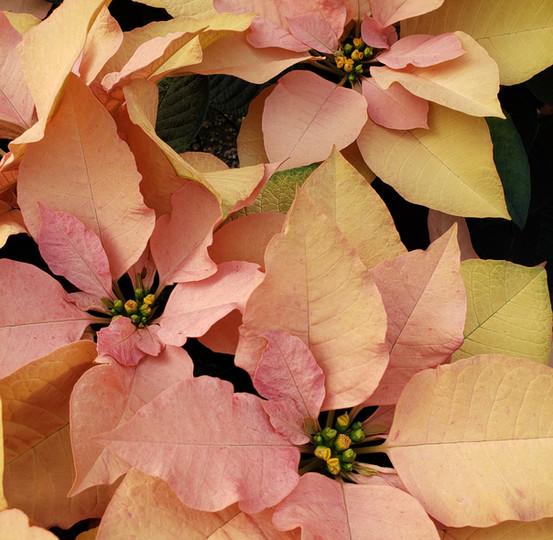 Autumn Leaves Poinsettia