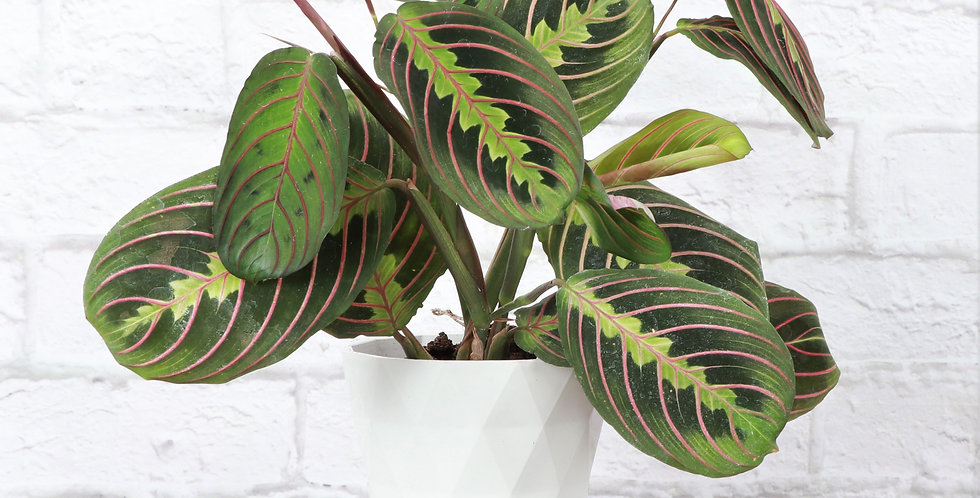 Maranta Leuconeura, Red Prayer Plant in Modern White Planter