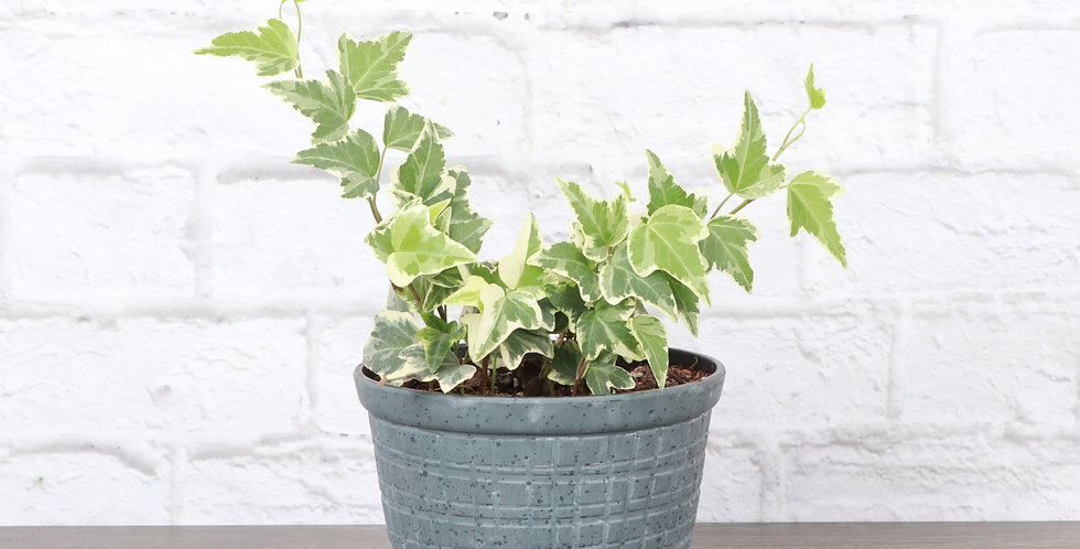 Hedera Helix 'Variegata', Variegated English Ivy in Rustic Planter