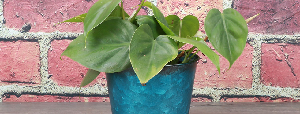 Philodendron Hederaceum, Green Heartleaf Philodendron in Bright Blue Metal Pot