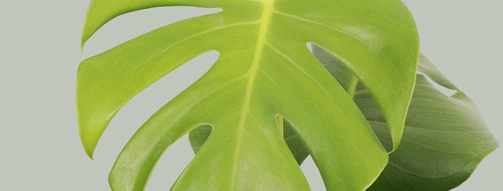Monstera Deliciosa, Split-leaf Philodendron