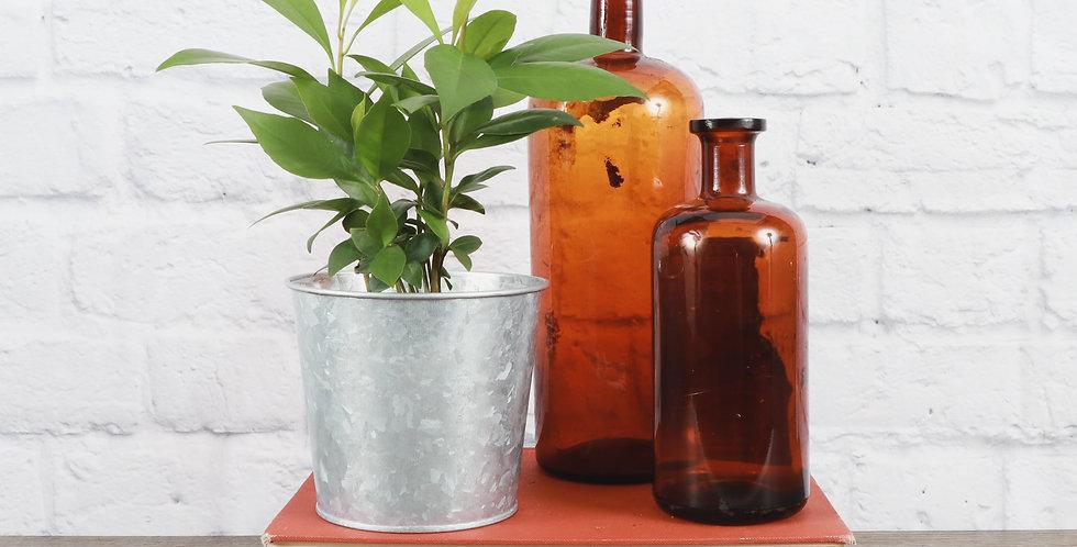 Ardisia Humilis, Red Ardisia in Galvanized Steel Pot