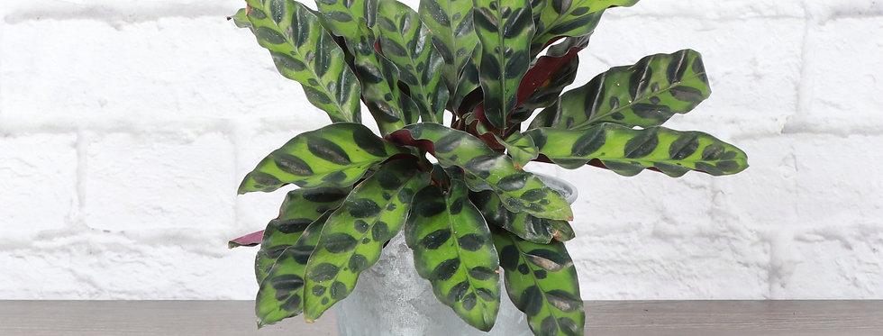 Calathea Lancifolia, Rattlesnake Calathea Plant in Galvanized Steel Pot