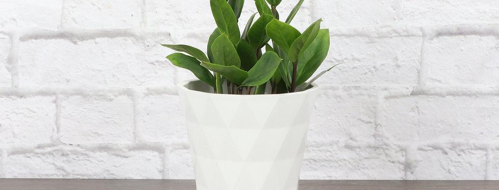 Zamioculcas Zamiifolia, ZZ Plant in Modern White Planter