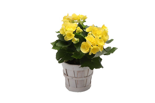Reiger Begonias, White Basket