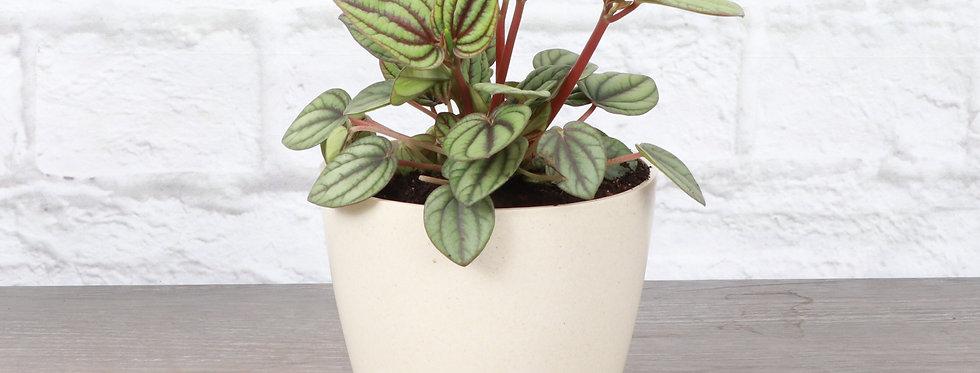 Peperomia Albovittata, Peperomia Piccolo Banda in Eco Pot