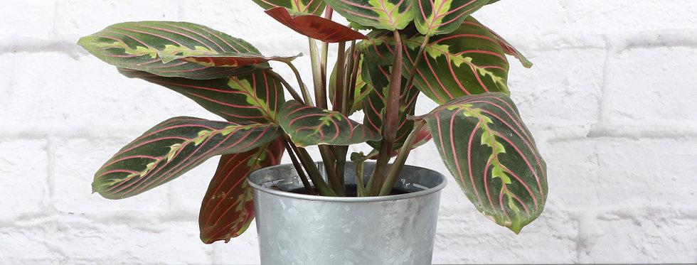Maranta Leuconeura, Red Prayer Plant in Galvanized Steel Pot