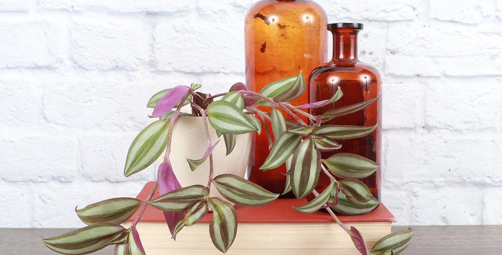 Tradescantia Zebrina, Silver Plus in Eco Pot