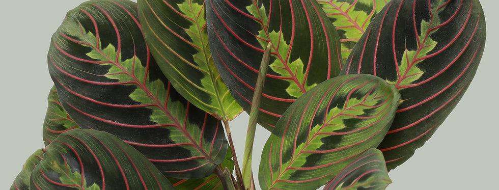 Maranta Leuconeura, Red Prayer Plant