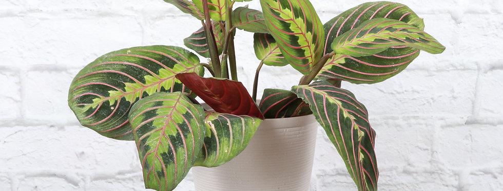 Maranta Leuconeura, Red Prayer Plant in Farmhouse Planter