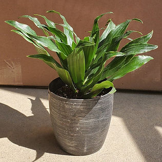 A customer's photo of a Janet Craig plant in a black and silver pot