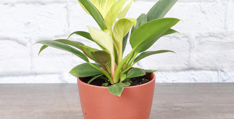 Philodendron 'Birkin' in Eco Pot