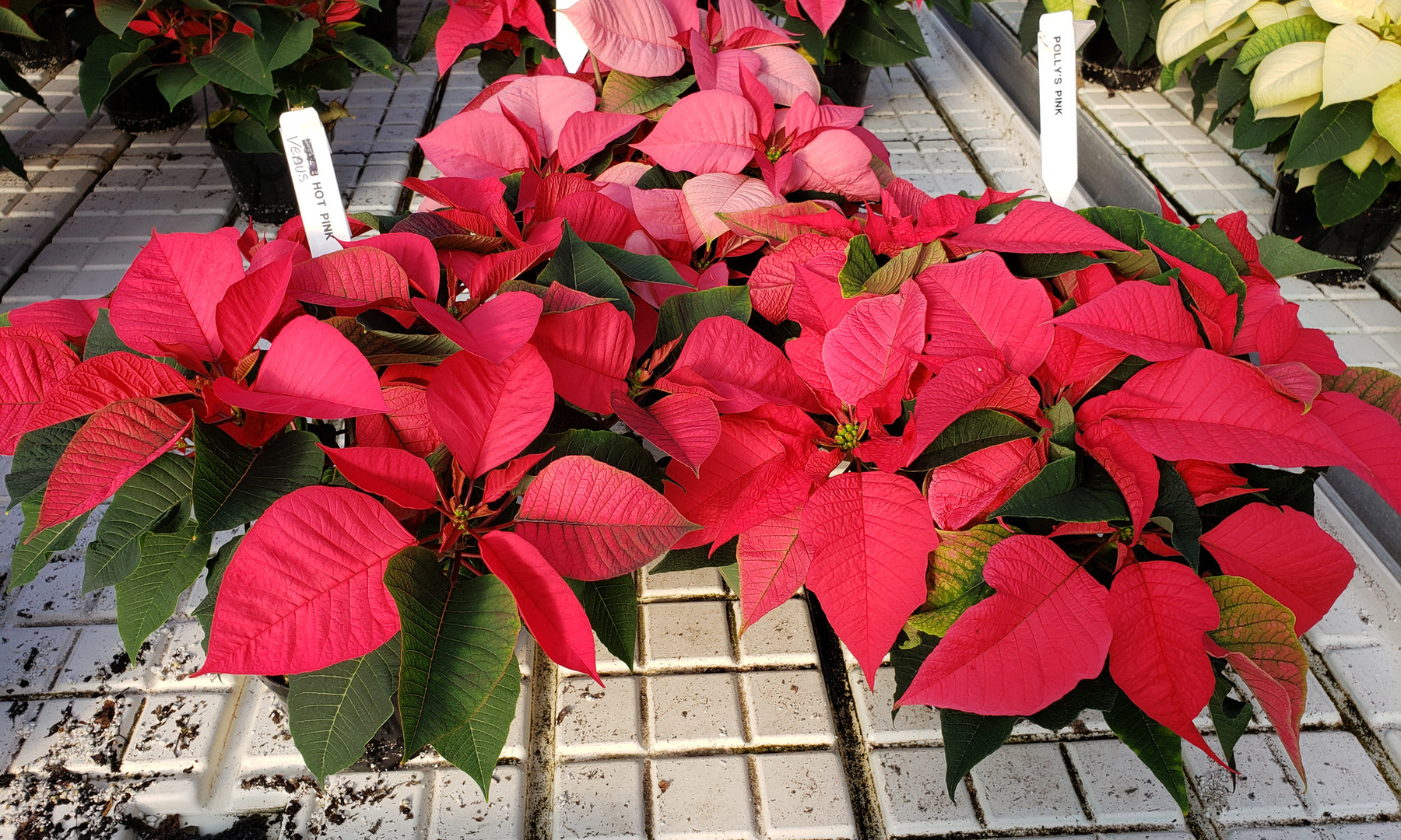 Left - Venus Hot Pink Back Pink Right Polly's Pink Poinsettia