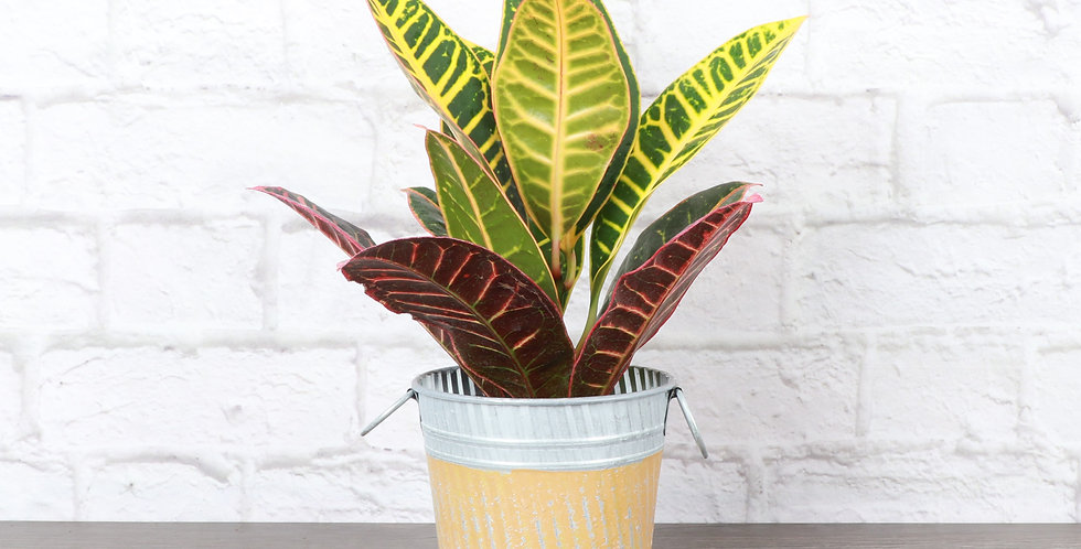 Petra Croton Plant, Yellow Stripe Fall Pot
