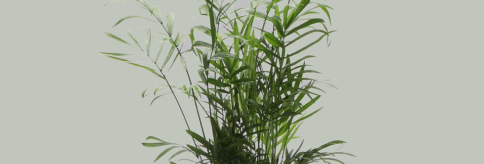 Chamaedorea Elegans, Parlor Palm
