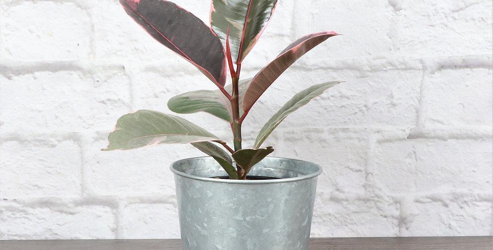 Ficus Elastica, Ruby Rubber Plant in Galvanized Steel Pot