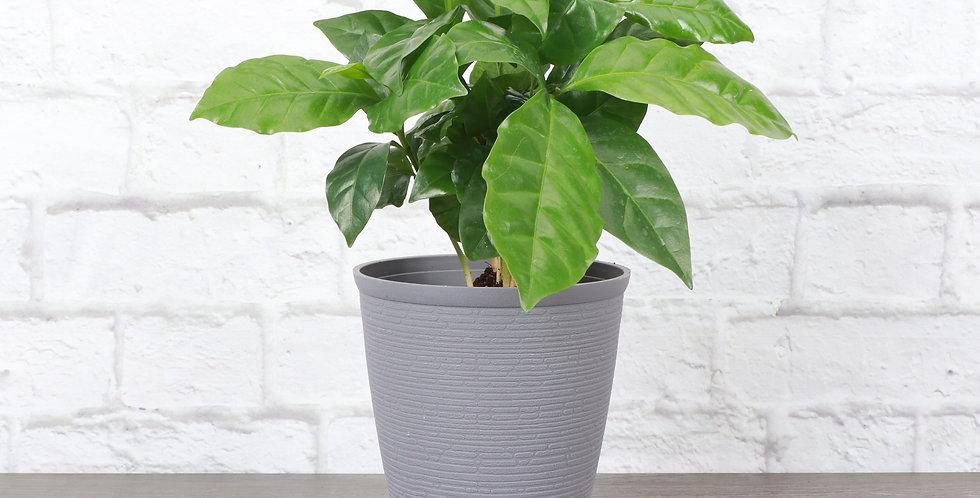 Coffea Arabica, Coffee Plant in Farmhouse Planter