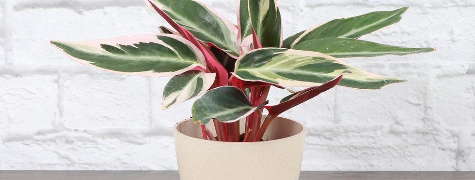 Stromanthe Sanguinea Triostar, Stromanthe Plant in Eco Pot