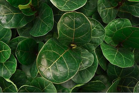 A closeup photo of fiddle leaf fig plants