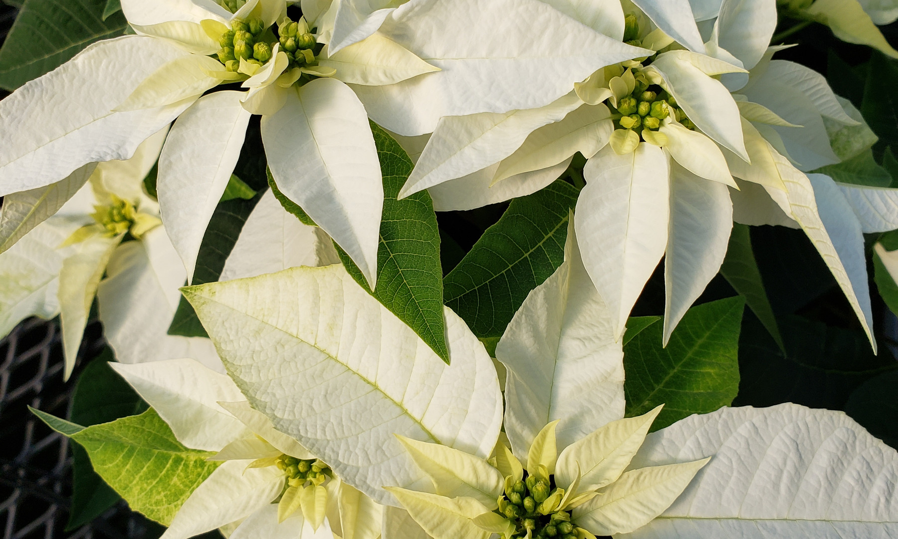 Princettia Pure White Poinsettia