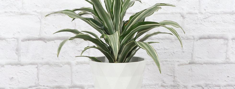 Dracaena Fragrans, Warneckii Dracaena in Modern White Planter