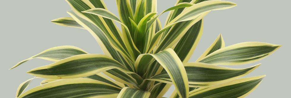 Dracaena Reflexa, Song of India Plant