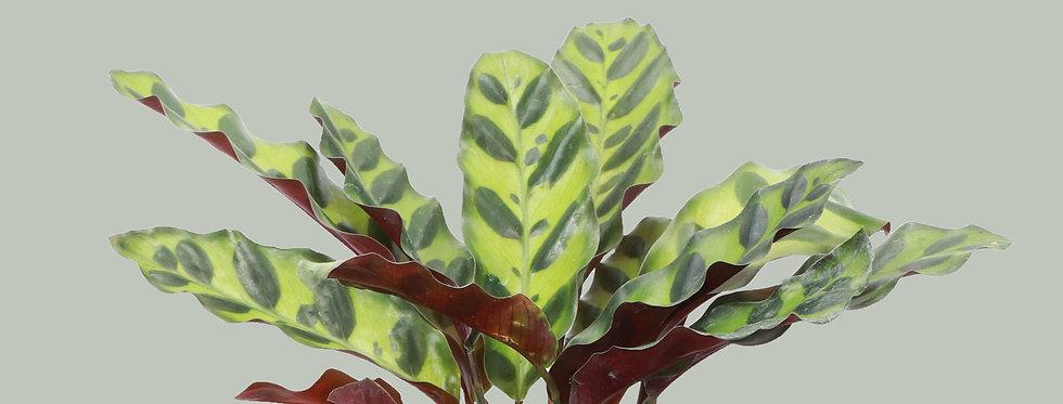 Calathea Lancifolia, Rattlesnake Calathea