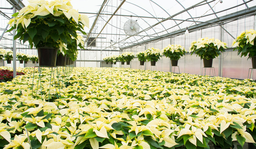 White Poinsettias