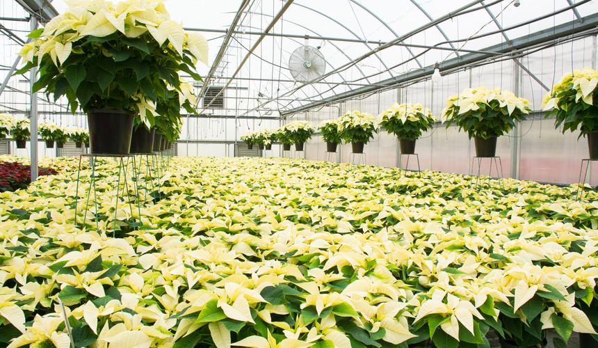 White Poinsettias