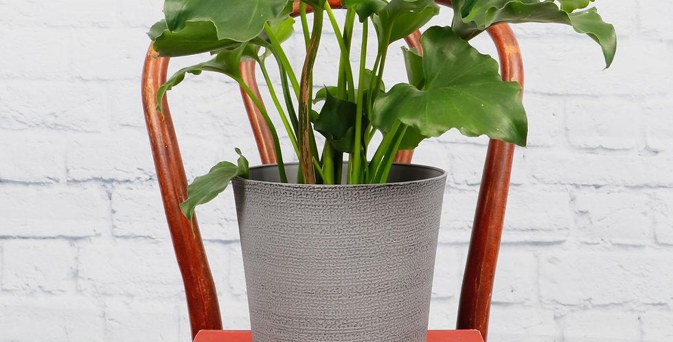 Thaumatophyllum Bipinnatifidum, Philodendron Hope in Classic Gray Pot