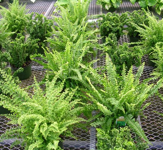 Assorted Boston Ferns