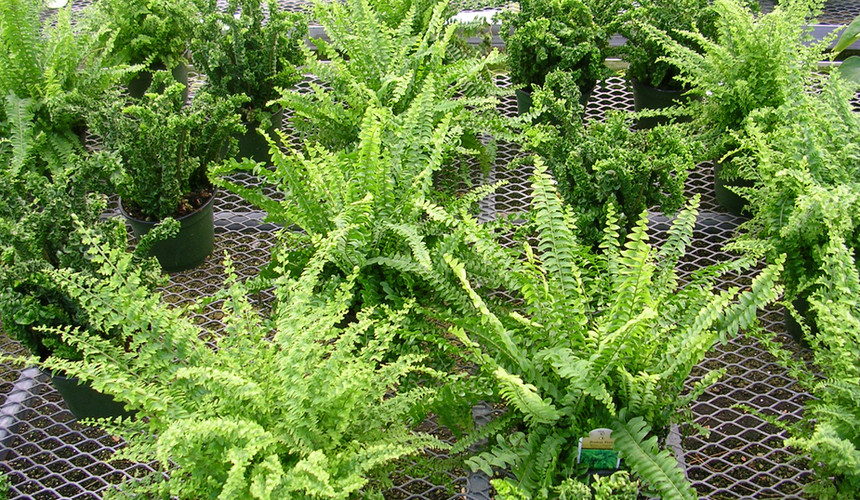 Assorted Boston Ferns