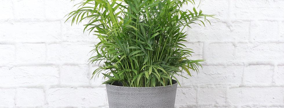 Chamaedorea Elegans, Parlor Palm in Classic Gray Pot