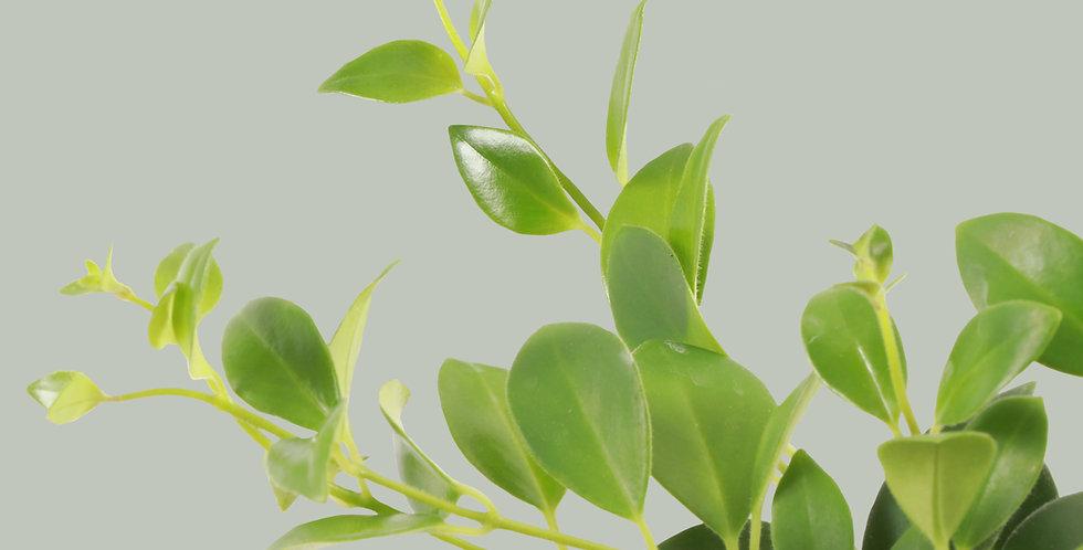 Aeschynanthus Pulcher, Lipstick Plant