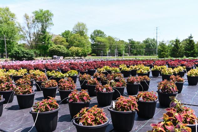 Outdoor Annuals